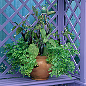 AUBERGINES AND French PARSLEY IN A Container