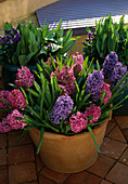 Frost DAMAGED TERRACOTTA Pot with Hyacinthus 'Delft Blue' AND Hyacinthus 'Lady DERBY' IN Garden at ALBERT RD, READING