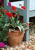 Terracottatopf mit Agave americana und Verbena