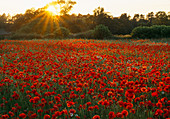 Sunset OVER POPPY AND OXEYE Daisy MEADOW - OXFORDSHIRE