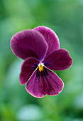 Viola Sorbet Antique / Hornveilchen