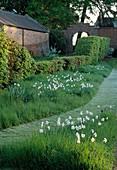 Narcissus poeticus 'Actaea' - Dichter-Narzisse - Bepflanzung auf der Wiese