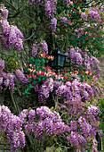 Wisteriana sinensis und Lonicera x Americana vor dem Haus