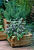 DECKED TERRACE with WOODEN BOXES PLANTED with Salvia AND ROSEMARY. Designer: Joe SWIFT