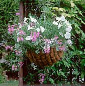 Hängekorb mit Kaskade weisser Petunie, Convolvulus sabatius, Felicia amelloides, Scaevola und Pelargonium 'Elegante'