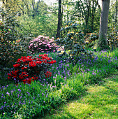 DAPPLED SHADE IN SPRING WOODLAND Garden: BLUEBELLS, Rhododendron 'RUBINA' AND Rhododendron 'Temple BELLE' IN BACKGROUND. MR & Mrs JURGENS Garden