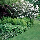 Rhododendron 'Sappho' (Alpenrose), Matteuccia struthiopteris (Straussfarn), Rodgersia (Schaublatt)