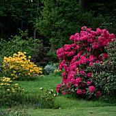 Rhododendron und Gartenazalee