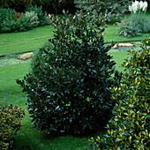 Ilex altaclerensis 'Camelliifolia'/ Kamellienblättrige Stechpalme
