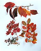 STRÄUCHER mit Herbstlaub: PRUNUS SARGENTII,VIBURNUM trilobum