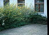 Kerria japonica / Ranunkelstrauch als Abschirmung eines
