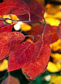 Amelanchier lamarckii / Felsenbirne in Herbstfarbe