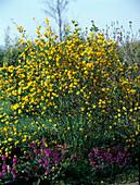 Kerria japonica 'Pleniflora' / Ranunkelstrauch mit gefüllten