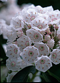 Kalmia latifolia / großer Berglorbeer