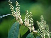 Prunus laurocerasus (Kirschlorbeer)