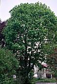 Acer campestre / Feldahorn