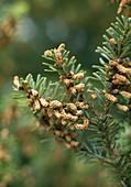 ABIES nordmanniana (männliche Blüte)
