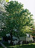 AESCULUS hippocastanum als HAUSBAUM