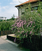 BUDDLEIA ALTERNIFOLIA