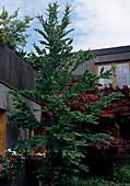 CERCIDIPHYLLUM japonicum