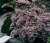 Kolkwitzia amabilis (Permuttstrauch)