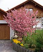 Blühender Malus (Zierapfelbaum) in Randbeet neben Garage