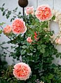 Rosa 'Abraham Darby' Strauchrose - mehrmals blühend - Duft