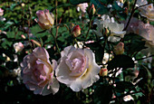 Rosa 'Lady of the Dawn', Floribundarose, oefterbluehend mit Duft