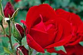 Rosa 'Karl Herbst', Syn. 'Red Peace' Teehybride, öfterblühend, starker Duft