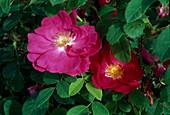 Rosa gallica officinalis, Apothekerrose Historische Rose, duftend, einmalblühend