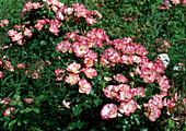 Rosa 'Cocorico' - syn. 'Birthday Girl' Floribundarose, Beetrose, öfterblühend, Duft
