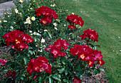 Rosa 'Red Cottage' Floribundarose, Strauchrose, öfterblühend, schwach duftend