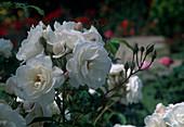 Rosa 'White Pinocchio' Floribundarose, Strauchrose, öfterblühend, starker fruchtiger Duft