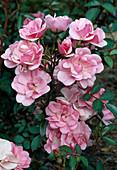 Rosa 'Jolie Demoiselle' Floribundarose, öfterblühend, schwach duftend