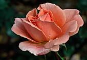 Rosa 'Kalinka'syn. 'Pink Wonder' Floribundarose, öfterblühend, kaum Duft