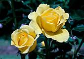 Rosa 'Rimosa' - Syn. 'Gold Bunny' Floribundarose - öfterblühend - Weinbauklima
