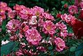 Rosa 'Comtesse Jeanne de Flandres' Floribundarose, Beetrose, öfterblühend, schwach duftend