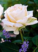 Edelrose 'Ambiente', Blüten verbleichen auch in voller Sonne
