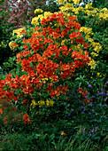 Rhododendron-Pontica-Hybr. 'Klondyke', Azalea,