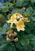 Rhododendron Knap - HILL 'HUGH Wormald'