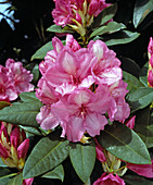 Rhododendron 'ALICE'