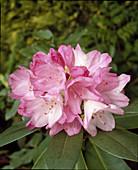 Rhododendron YAKUSHIMANUM X 'ALICE'