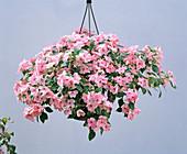 IMPATIENS 'Apfelblüte'
