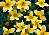 Bidens ferulifolia (Goldmarie, Zweizahn)