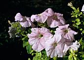 PETUNIA 'Apfelblüte'