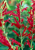 Salvia rutilans (Ananassalbei)