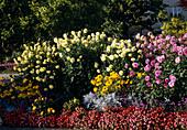 Sommerbeet mit Dahlia (Kaktusdahlien), Rudbeckia (Sonnenhut)