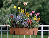 Tulipa, MYOSOTIS sylvatica
