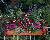 Salvia FARINACEA,IMPATIENS-Hybride, AGERATUM