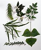BLÄTTERTABLEAU: Araucaria araucana / Schmucktanne